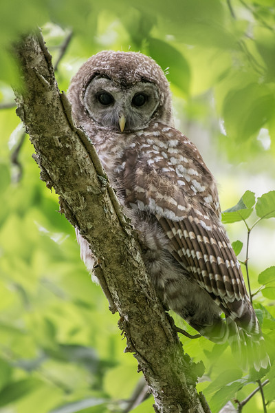 #999 Barred Owlet