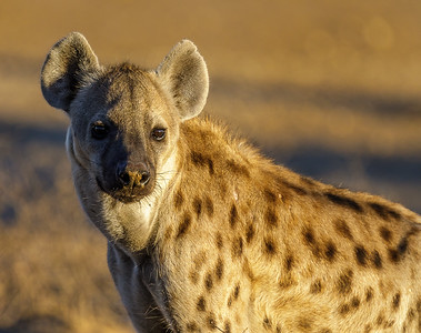Richard Pilcher - Spotted Hyena