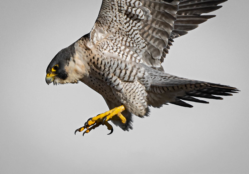 _5008030-Edit Peregrine Falcon close up.jpg