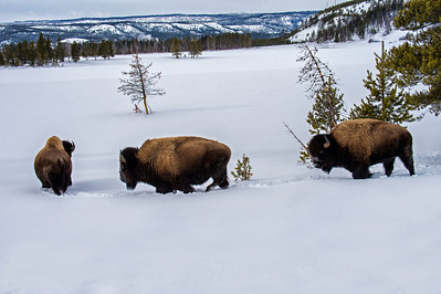 Snow Coach Tour - Bison