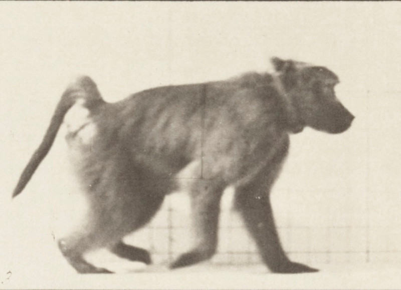 Baboon walking on all fours