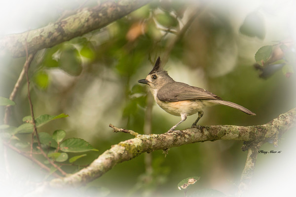 Black-crested Titmouse_DWL3003.jpg