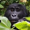 Wild mountain gorilla enjoying morning foliage. Bwindi Impenetrable Forest, Uganda.