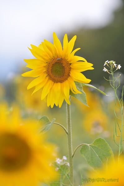 Sunflower Lonay_20092020 (71).JPG