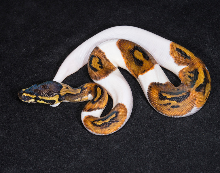 092MPIED, male Piebald, $350