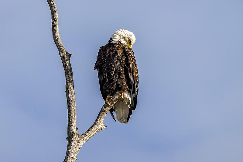 Shady Oak Eagle #2