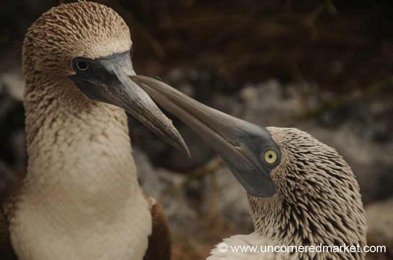 Blue-Footed Booby Nuzzling - Galapagos Islands