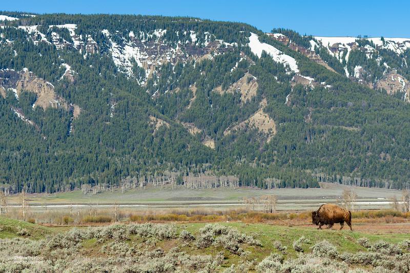 Bison, Yellowstone NP, WY, USA May 2018-4.jpg