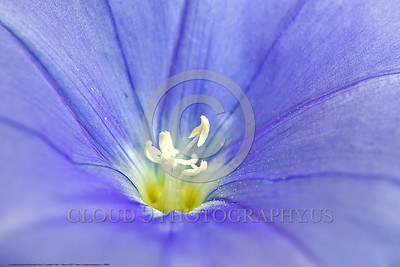 Convolvulus Ground Morning Glory Flower Pictures