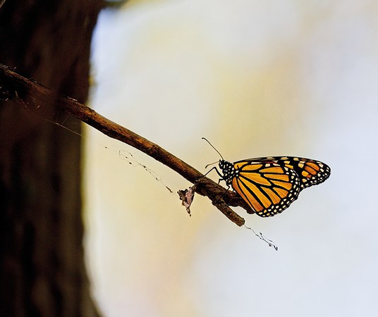 Monarch Migration 2019