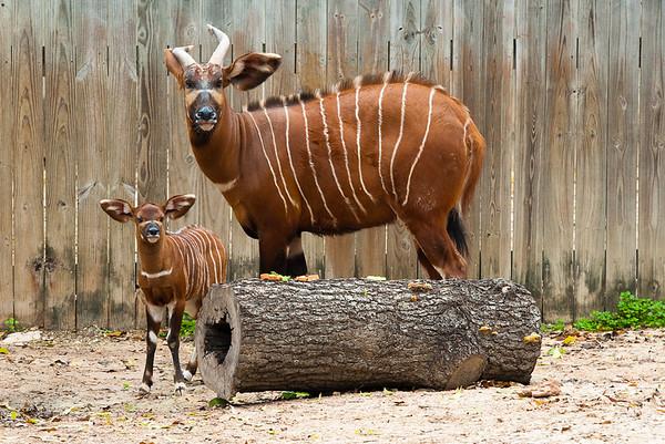 "Baby Bongo Calf ""Brody"" born at Houston Zoo."