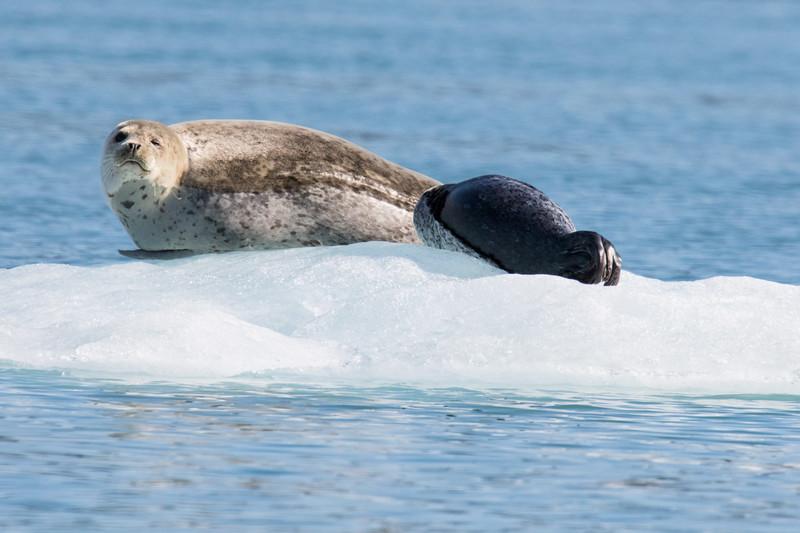 Harbor Seals Petersberg-5.jpg