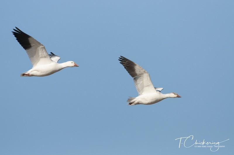 Snow Geese in Flight Ten.jpg