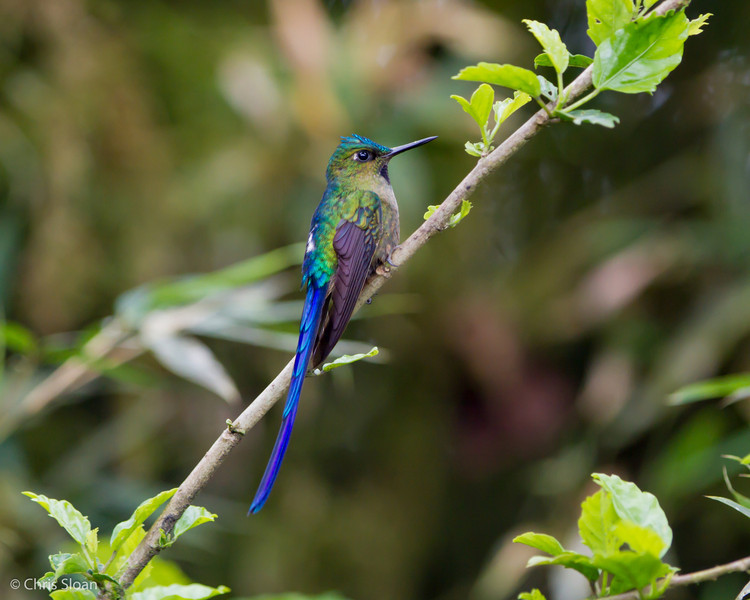 Violet-tailed Sylph male at Sachatamia Lodge, Ecuador (03-03-2014)-15.jpg