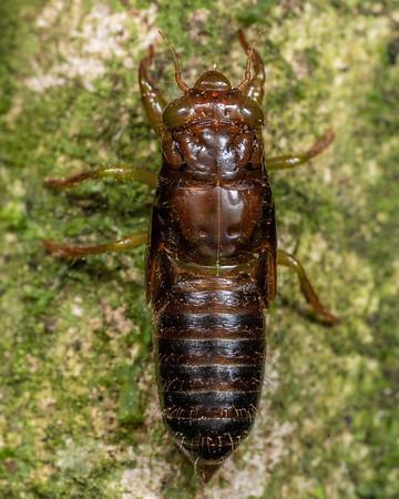 Unidentified cicadas