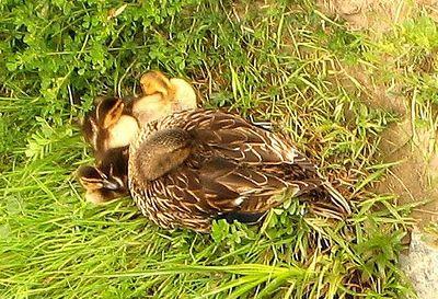 Baby-Ducks.jpg