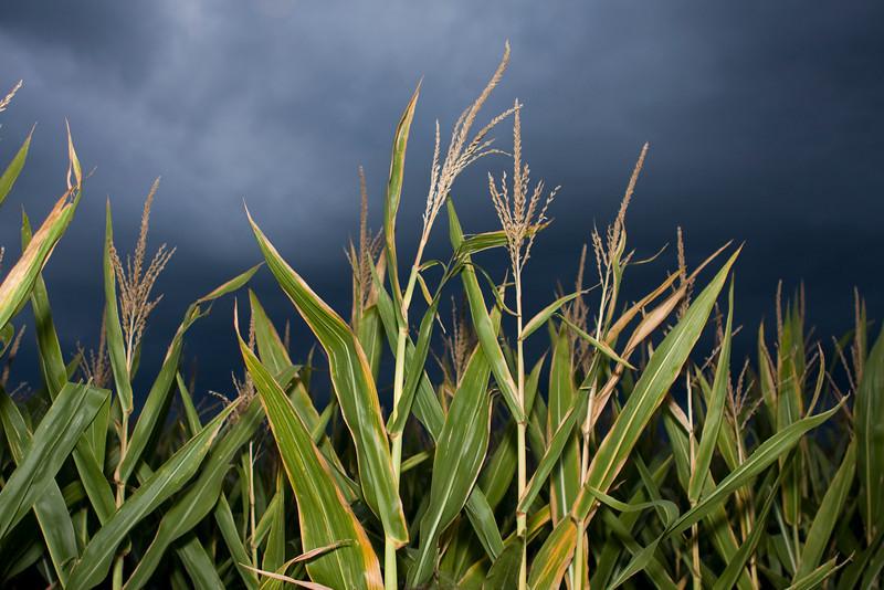 NC Corn