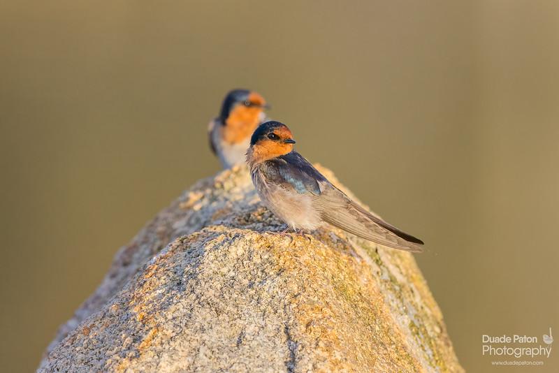 357-Welcome-Swallow-Rutherglen,VIC-81021.jpg