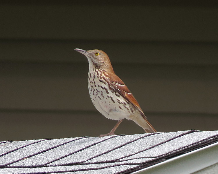 sx50_brown_thrasher_415.jpg