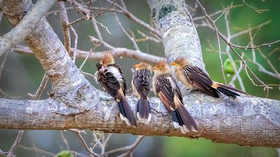 Land Birds of South Pantanal