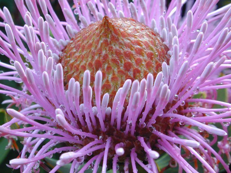 cone-flower_107459224_o.jpg