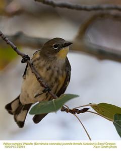 Yellow-rumped Warbler Audubon's F76919.jpg