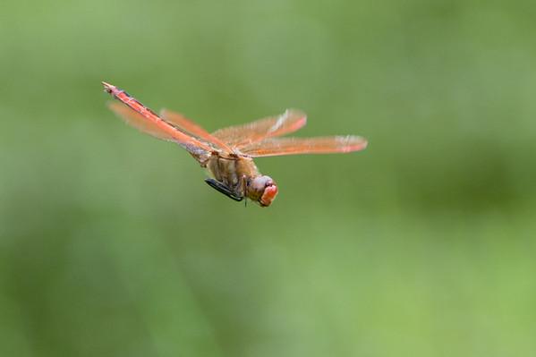 Mt. Cuba Dragonflies