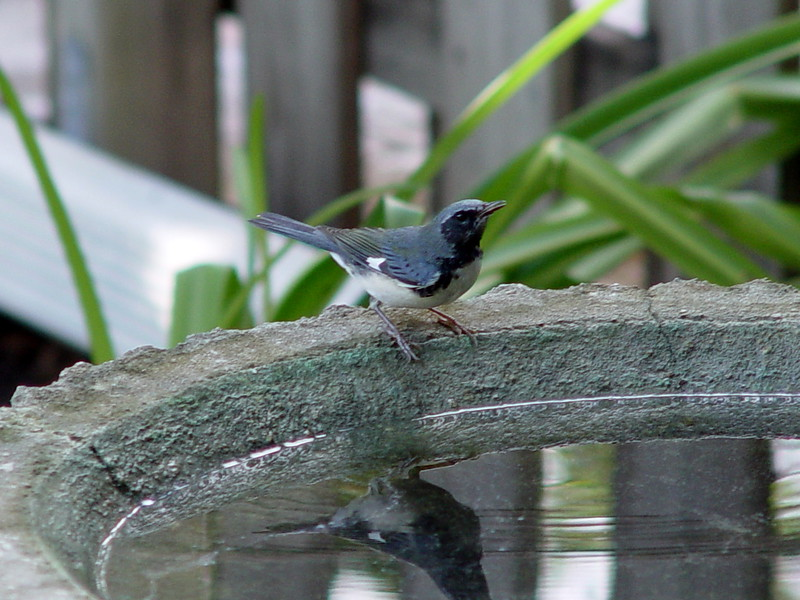 Black-throated Blue Warbler [male]