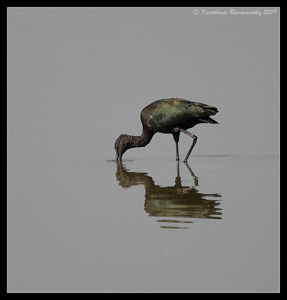 White-faced Ibis, Salton Sea, Imperial County, California, November 2009