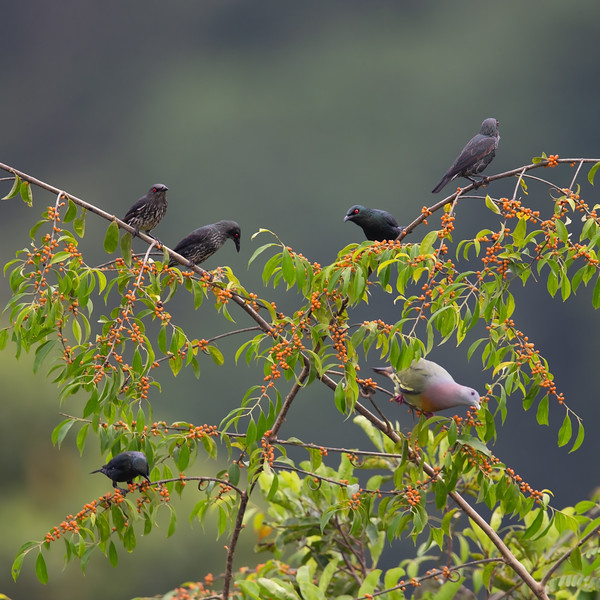 Asian Glossy Starlings and a Pink-necked Green Pigeon