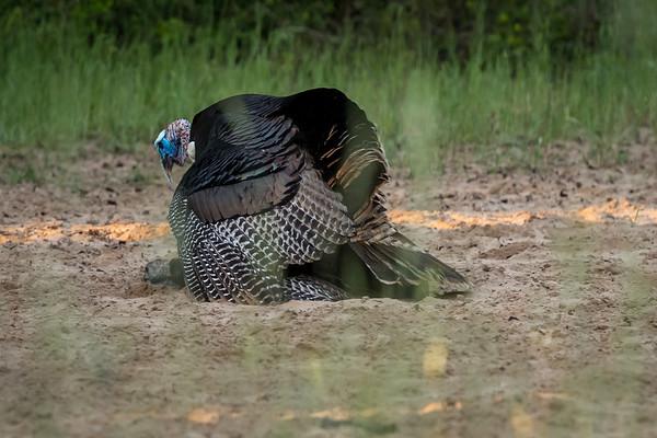 20180428-CCC-TurkeyLoveOspreyPaintedBuntingHogsBirdsFlowers