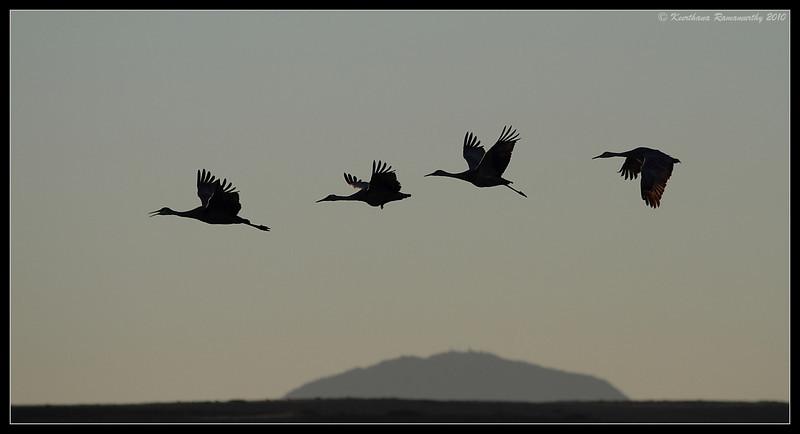 Sandhill Cranes - poetry in flight, Bosque Del Apache, Socorro, New Mexico, November 2010