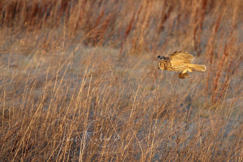 Long-eared Owl and prey, Las Gallinas ponds, San Rafael, California