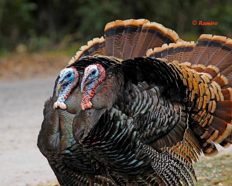 2 Turkeys.jpg