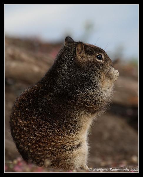 California Ground Squirrel, Lindo Lake, San Diego County, California, December 2008