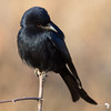 Drongo Close up 1