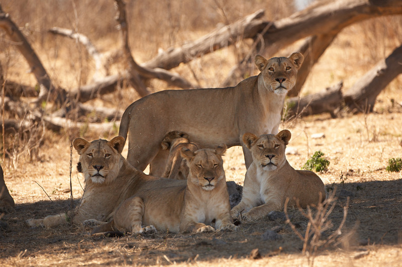 Lion - 9293.jpg