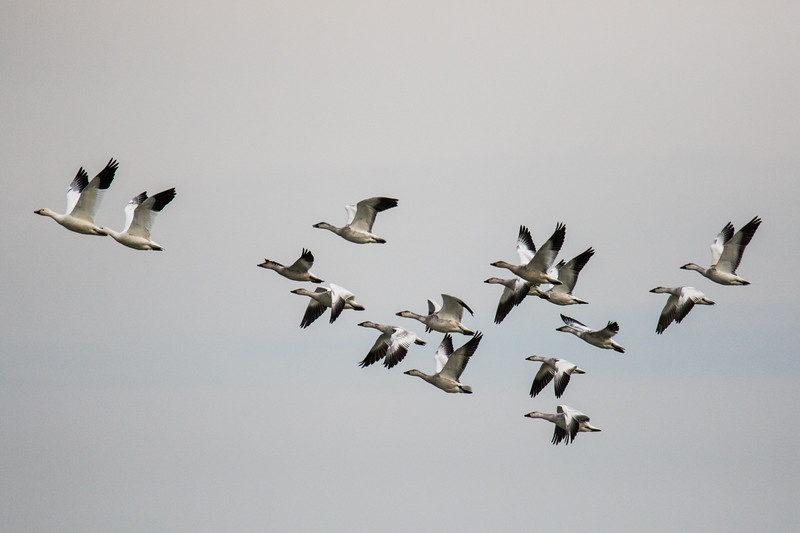 Snow Geese Bombay Hook Fall 2019-10.jpg