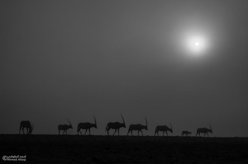 Arabian Oryx (29)- B&W.jpg