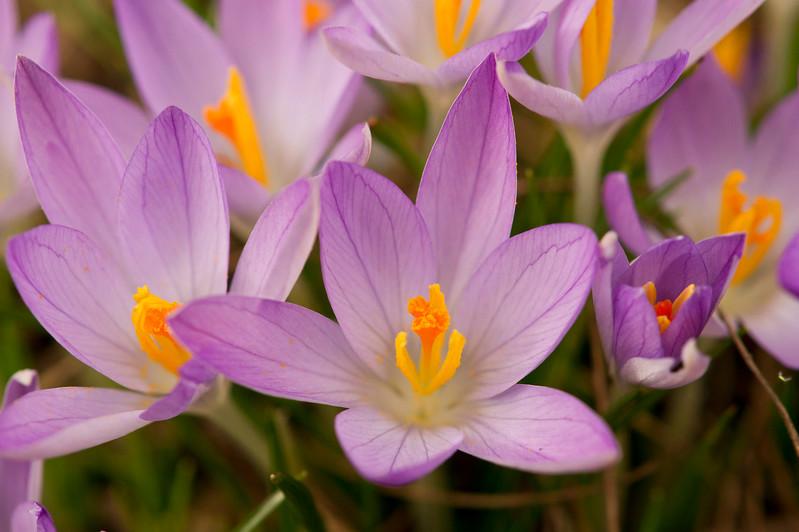 Purple crocuses with orange stigma's
