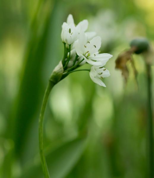 Allium Neapolitanum 02