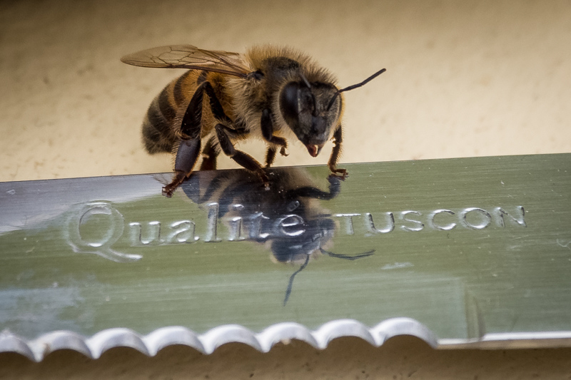 December 30 - Bee on a knife.jpg
