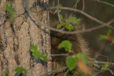 Alaskan Porcupine