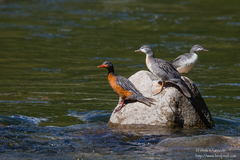 Torrent Duck - Family - Rio Urubamba, Aguas Calientes, Peru