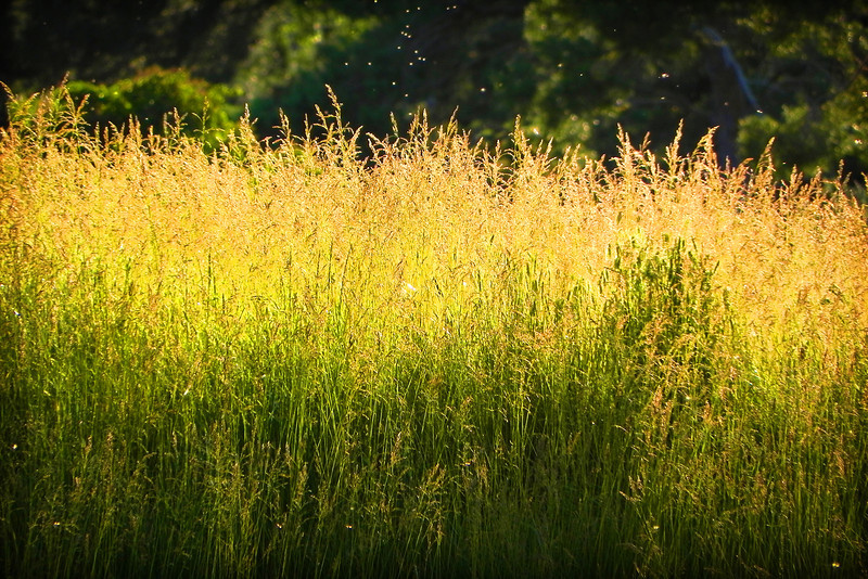 2011/6/28 – I love the summer wild grass back lit by the setting sun and little bugs flying around with no known purpose. This is summer in Utah. The grass is a little greener than normal due to how wet this year has been.