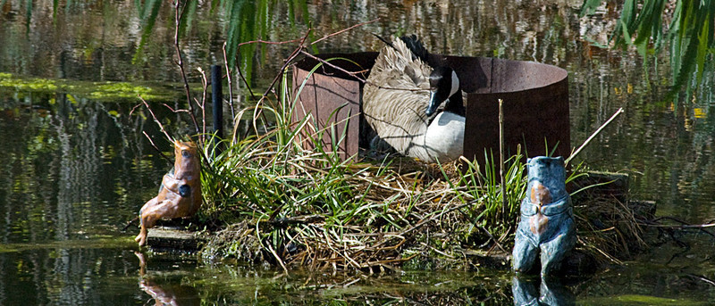 Canada_Geese_nesting.jpg