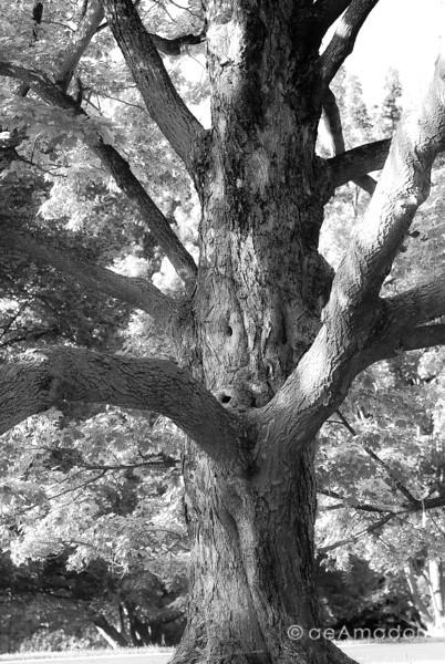 Maple Tree at Cylburn-aeamador-0003.jpg