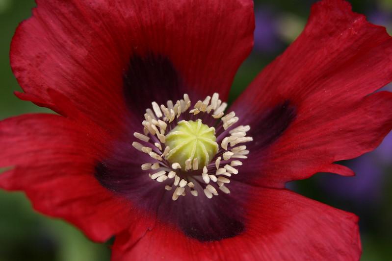014 Poppy Close-up 2.jpg