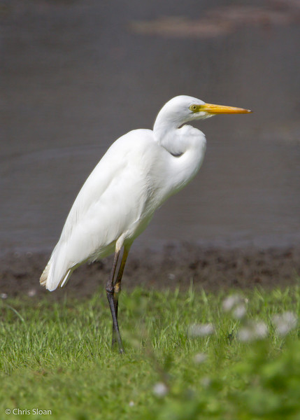 Intermediate Egret at Pacific Adventist University, Port Moresby, Papua New Guinea (09-29-2013) 009-266.jpg