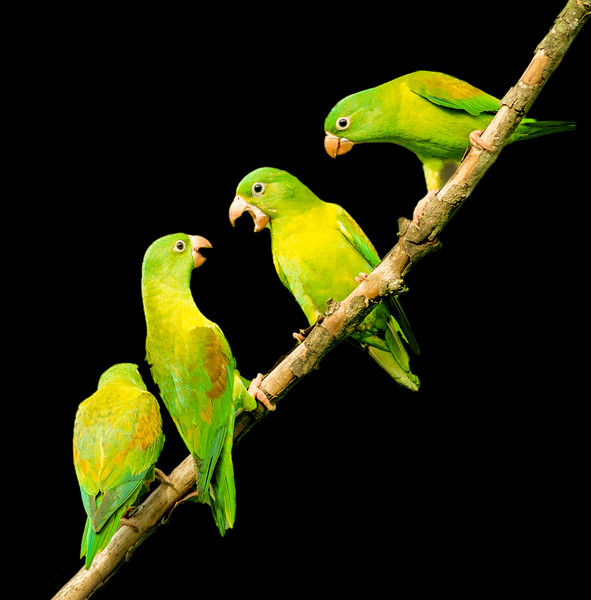 Four Range-chinned Parakeets